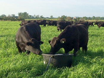Our free-range Black Angus herd enjoys lush organically grown pasture grasses.