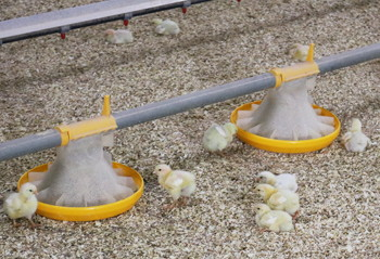 Our certified organic chickens are raised free-range, cage free, on organic feeds