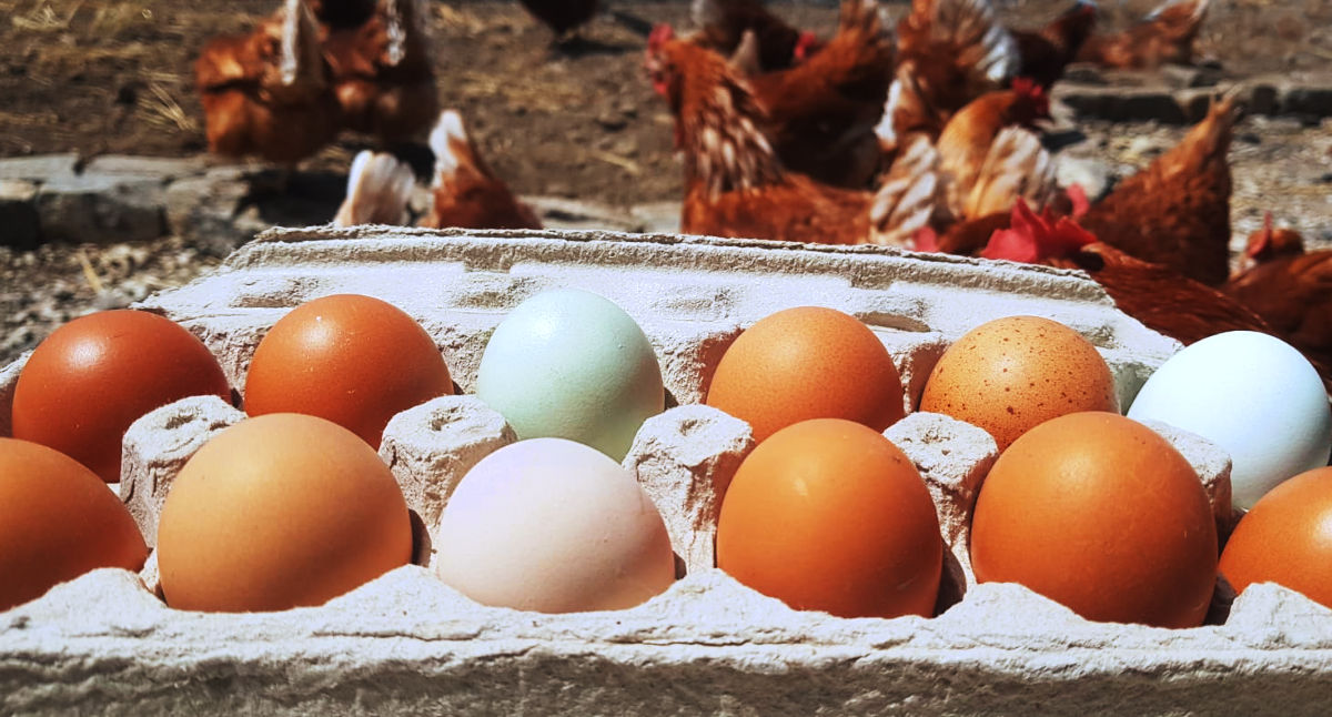 Buy local organic blue eggs direct from the farm in Ontario Canada